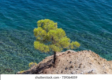 A young green pine tree on the edge of a rock near turquoise see