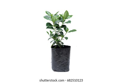 Young green plant in a balck plastic bag isolated