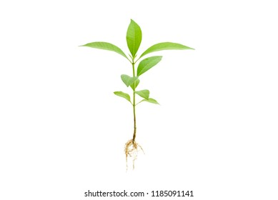 Young green plant / growing sprout with root white isolated, natural germination process, produce new leaves or buds. Used for photo graphic edit and symbolic of a new life or new business development