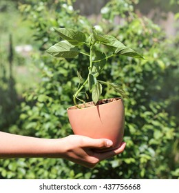Young green plant in a pot to plant in the garden / gardener with a new plant