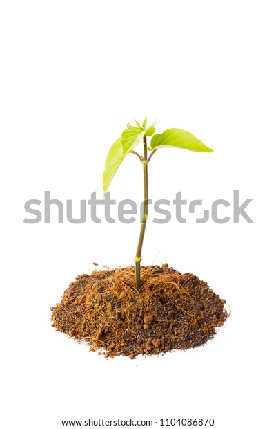 Young green plant or seeding isolated on white background