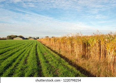 Young green plants and mature yellow Elephant Grass or Miscanthus giganteus plants in long rows in a Dutch field. The crop is used as biofuel for the farm in the background. It s a sunny day in autumn