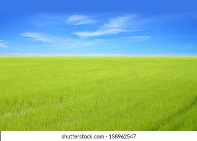 Young green rice field with blue sky.