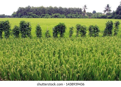 Young green rice paddy in the paddy field. Paddy rice fields prepare harvest