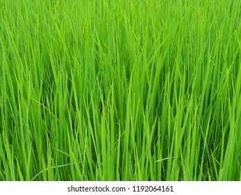 Young green ruce paddy field - Shutterstock ID 1192064161