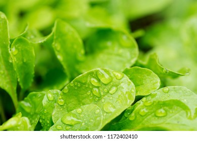 A young, green rucola salad, for dietary nutrition, growing on the bed