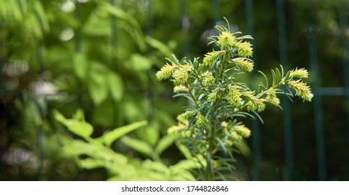 young green shoots of coniferous bush