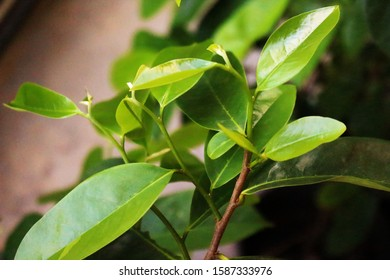 Young green soursop leaves on tree