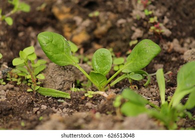 young green spinach in the garden