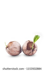 young green sprout of the coconut tree and brown coconut seed on white background planting agriculture isolated
