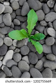 Young green sprout growing out of dry barren stones background. New growth rebirth of regeneration concept showing a young life surrounded by the environment.
