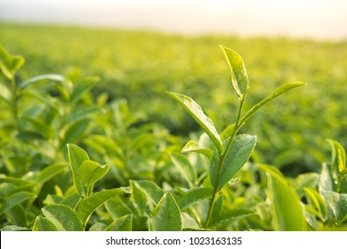 Young green tea leaf in morning,Tea plantation