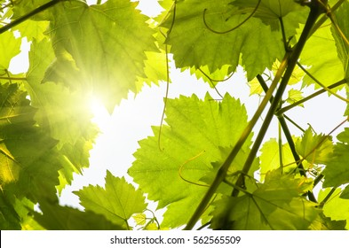 Young green tender leaves of grapes on a background of blue sky in spring.