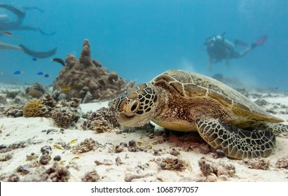 A young green turtle eating with scuba divers in the background on the great barrier reef in Australia