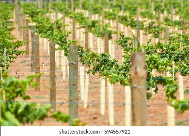 Young green vines in vineyard with tubes at base. Location Mildura