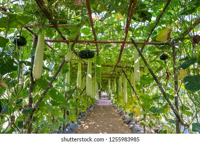 Young green wax gourd hanging on the bamboo arbor. Benincasa hispida, the wax gourd, Calabash gourd - Lagenaria siceraria