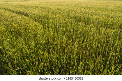 Young green wheat ears on a beautiful grain fields. Ripening ears wheat. Agriculture. Growing a natural product.