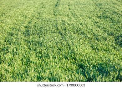 Young green wheat seedlings growing on a field. Wheat growing in soil.