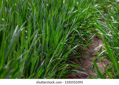young green wheat, in the Ukrainian fields, the leader of the production of this culture