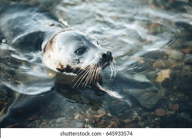 Young Greenland Harp Seal on Coastline of the Kandalaksha Bay on the White Sea Coast Russia
