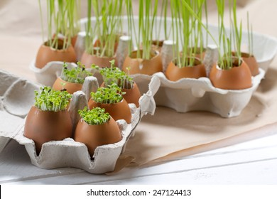 Young greens grown in the eggshell