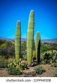 A young greeny Saguaro Cactus in Saguaro National Park, Arizona