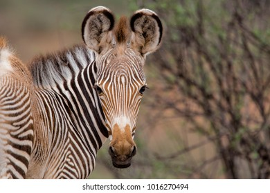 Young grevy zebra in Samburu National Park in Kenya