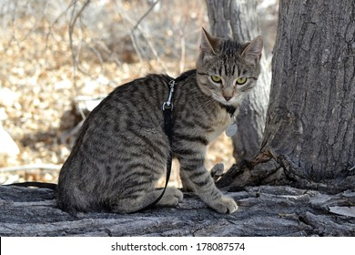 Young grey brown tabby cat with harness and leash exploring nature
