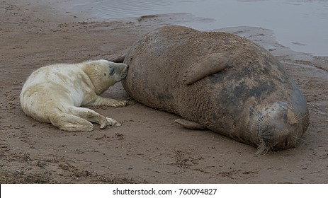 A young grey gray seal pup suckling and feeding off its mother lying on the sand