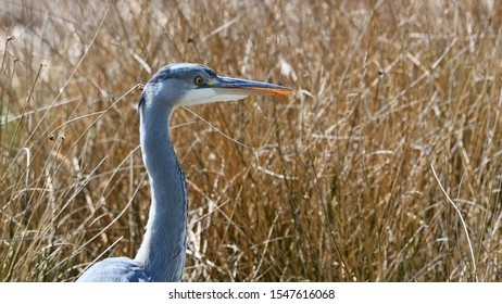 Young grey heron with bloodied beak against a background of wheat