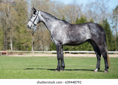 young grey horse standing on a field