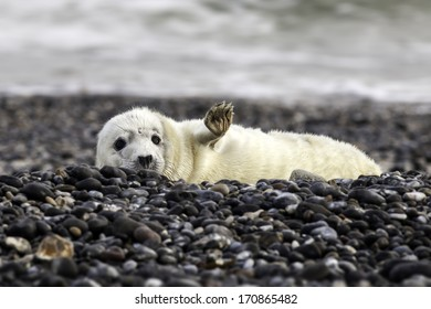 Young grey seal at the beach of Helgoland