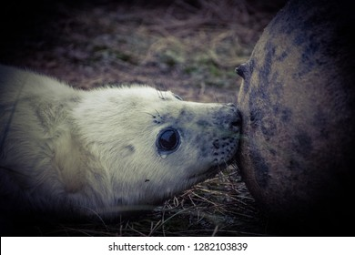 Young grey seal pup (Halichoerus grypus)  on Donna nook beach a few days after birth. if