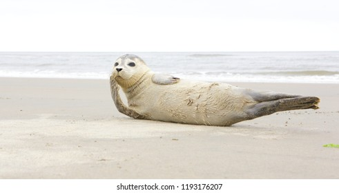 A young grey seal pup that's a total show-off, one with something of an outgoing personality, and who just seems to play to the camera. Iceland Ameland, Dutch. North sea beach.