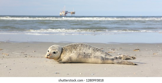 A young grey seal pup that's a total show-off, one with something of an outgoing personality, and who just seems to play to the camera. Iceland Ameland, Dutch