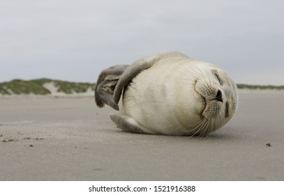 A young grey seal pup that's a total show-off, one with something of an outgoing personality, Ameland, Dutch.