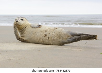 A young grey seal pup that's a total show-off, one with something of an outgoing personality, and who just seems to play to the camera. Iceland Ameland, Dutch, Northsea.