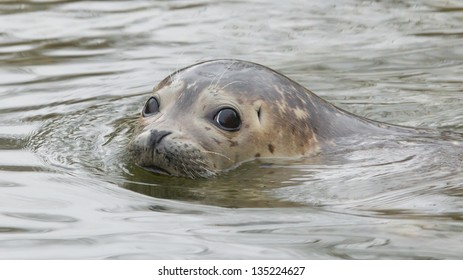 Young grey seal swimming in the water