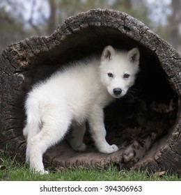 baby wolf images stock photos vectors shutterstock