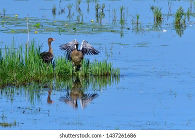 Young Greylag geese in a lake in upper lusatia.