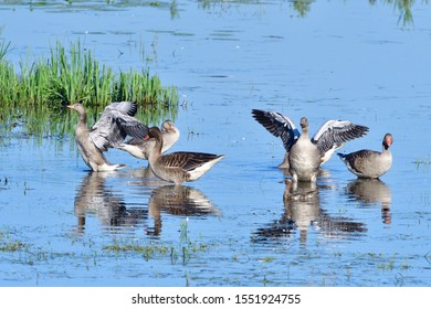 Young greylag geese in a lake in upper lusatia