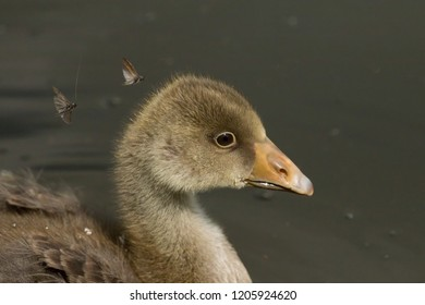 Young Greylag Gosling with flies buzzing around it's head.