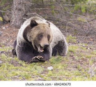 young grizzly bear lying with paws folded with open jaws