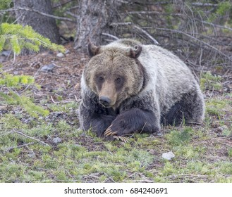 Young grizzly bear lying with paws folded like school child