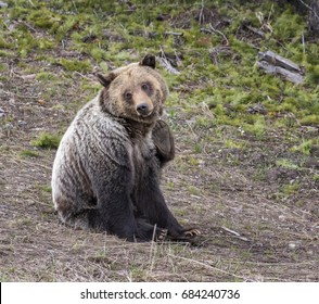 young grizzly bear scratching in seated position in park