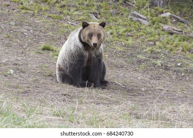 young grizzly bear sitting on grass in park