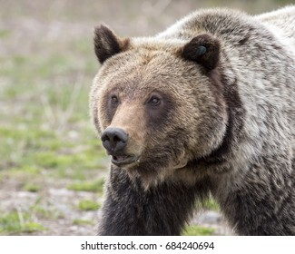 Young grizzly bear walking in grass from forest, portrait