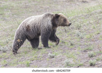young grizzly bear walking in grass from forest in park