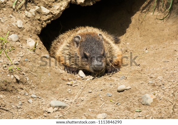 Young Groundhog at the entrance of its den eating a dry blade of grass. Also known as a Wood Chuck. Rouge National Urban Park, Toronto, Ontario, Canada.