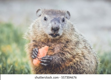 Young Groundhog (Marmota Marmox) holding carrot mouth open slightly